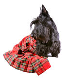 Scotch terrier in a red tartan. Scotch terrier in a red scotland tartan sitting on a white background Royalty Free Stock Image
