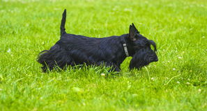 Scotch Terrier. Scotch Terrier posing on the green grass in the royalty free stock photos