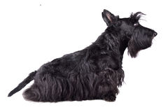 Scotch terrier Royalty Free Stock Photos