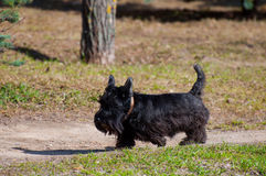 Scotch terrier for  walk Royalty Free Stock Photos