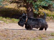 Scotch terrier for  walk Stock Photos