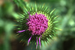 Scotch Thistle Royalty Free Stock Images