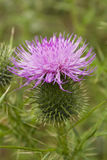 Scotch Thistle Stock Photos