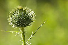 Scotch Thistle (Onopordum acanthium) Royalty Free Stock Photo