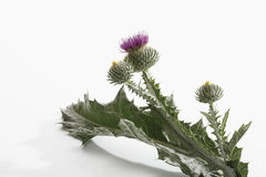 Scotch thistle (Onopordum acanthium) Stock Image