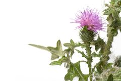 Scotch Thistle With Purple Flower Stock Image