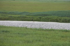 Scoter bird on river bank Stock Images