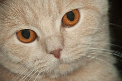 Scotish  fold cat. Scotish fold  the short-haired cat Looks in a distance Stock Photo