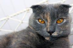 Scotish Fold Cat Gery with Ginger Flecks. Scottish Fold cat with grey coat with ginger flecks and orange eys royalty free stock images