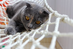 Scotish Fold Cat Gery with Ginger Flecks. Scottish Fold cat with grey coat with ginger flecks and orange eys stock photography