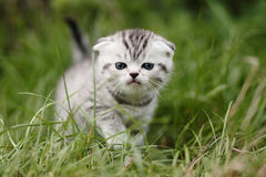 Scotish fold kitten. On the green grass Stock Photography
