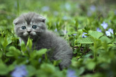 Scotish fold kitten. On the green grass Royalty Free Stock Photos