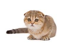 Scotish fold kitten. Isolated over white Royalty Free Stock Photo