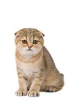 Scotish fold kitten Royalty Free Stock Photos