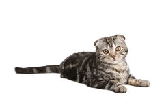 Scotish fold kitten. On white background Stock Photo