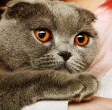 Scotitish fold grey cat Royalty Free Stock Image