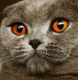 Scotitish fold grey cat Stock Image