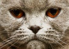 Scotitish fold grey cat Stock Photo