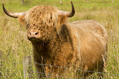 Scotland cow in highlands Stock Photos