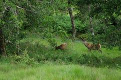 Scotland deers Stock Photo