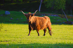 Scotland highland bull. Scotland highland hairy longhorned bull grazing at the green summer meadow, agricultural livestock animal concept Royalty Free Stock Photos