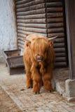 Scotland highland cattle Stock Photos