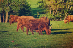 Scotland highland cows Royalty Free Stock Images