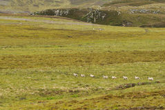 Scotland highlands sheeps. Walking in a row Stock Photos