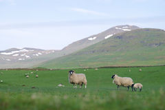 Scotland lambs Royalty Free Stock Photography