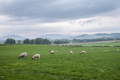 Scotland landscape and meadows with sheep. Landscape of Scotland highland with sheep on the fields Stock Photography