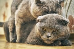 Cats are mating indoors Royalty Free Stock Photos