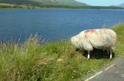 scotland owce Fotografia Royalty Free