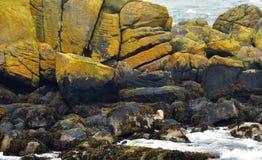 Scotland seal Royalty Free Stock Photos