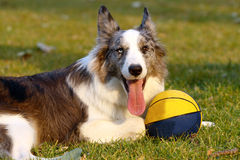 Scotland shepherd (Collie). Collie on the meadow Stock Photography