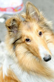 Scotland shepherd Collie-rough coated Royalty Free Stock Photos
