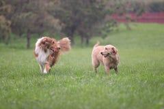 Scotland shepherd dog and Golden Retriever dog Royalty Free Stock Photography