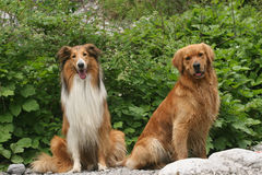 Scotland shepherd dog and Golden Retriever dog Royalty Free Stock Image