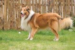 Scotland shepherd dog Royalty Free Stock Images