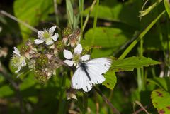 Small White Butterfly & x28; Pieris rapae & x29; on a Bramble & x28; Rubus frut Stock Image