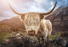 Scotland, UK - Portrait of a Highland Cattle at the Glamaig Royalty Free Stock Photos