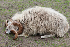 Scots cakle, Ovis aries, śpi na łące Zdjęcie Royalty Free