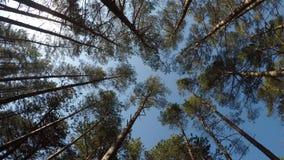 Scots pijnbomen in een bos bij de Baltische kust in Polen stock footage