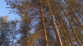 Scots pijnboombomen tegen blauwe hemel Royalty-vrije Stock Foto's