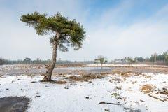 Scots pijnboomboom in een sneeuwlandschap royalty-vrije stock foto