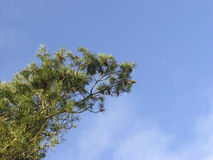 Scots pine Stock Photography