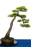 Scots pine as bonsai tree Royalty Free Stock Photography