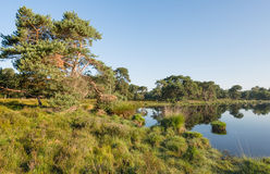 Scots pine at the banks of a natural pond Stock Photography