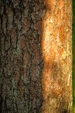 Scots pine, bark of the tree. In light and shadow Stock Images
