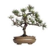 Scots pine bonsai tree, Pinus sylvestris, isolated. On white Royalty Free Stock Images