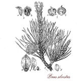 Scots pine, botanical vintage engraving Royalty Free Stock Images